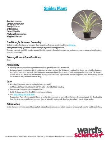 Spider Plant - Sargent Welch
