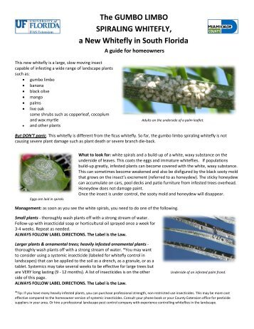 The gumbo limbo spiraling whitefly, a new whitefly in south florida