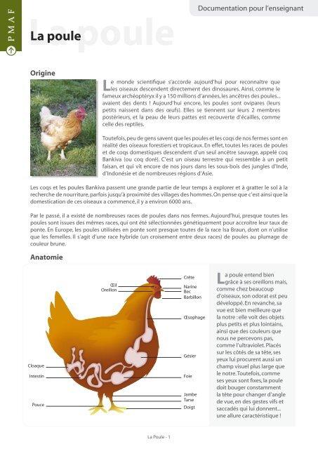 Anatomie Poule la poule - animaux de ferme