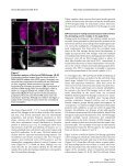 Neural Development - BioMed Central - Page 7