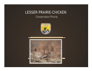 lesser prairie-chicken lesser prairie chicken