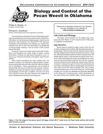 Biology and Control of the Pecan Weevil in Oklahoma - OSU Fact ...