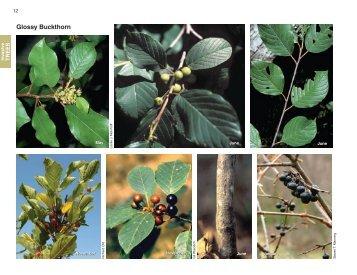 Glossy Buckthorn - Invasive.org