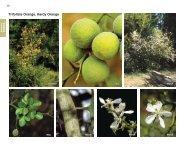 Trifoliate Orange, Hardy Orange - Invasive.org