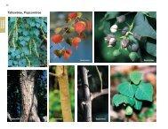 Tallowtree, Popcorntree