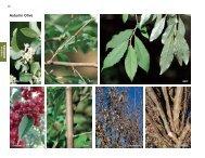 Autumn Olive - Invasive.org
