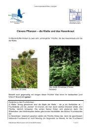 Clevere Pflanzen – die Klette und das Hexenkraut - Universität ...