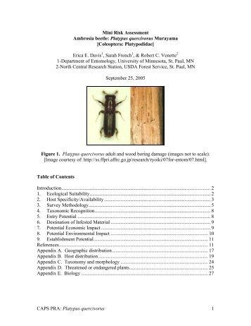 Platypus quercivorus 1 Mini Risk Assessment Ambrosia beetle