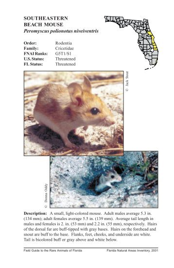 Peromyscus polionotus niveiventris - Florida Natural Areas Inventory