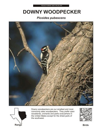 DOWNY WOODPECKER - The State of Water
