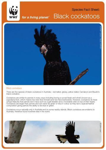 Black cockatoos - wwf - Australia
