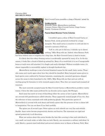 "Mammillaria multiceps - Christina Mild's ""Rio Delta Wild"""