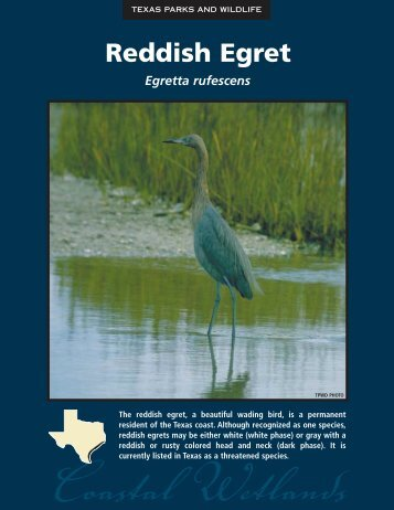 Reddish Egret - The State of Water