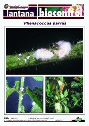 Phenacoccus parvus - Weeds Australia