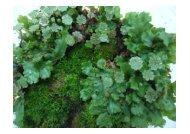 Fotografias de Marchantia sp (material reprodutivo e vegetativo)