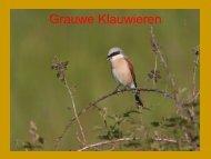 Grauwe Klauwieren in Limburg - SOVON Vogelonderzoek Nederland