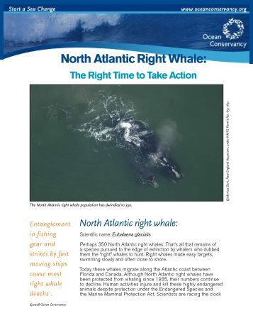 North Atlantic Right Whale: - Ocean Conservancy