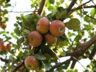 Meyve Ağaçlarında Budama - Samsun Tarım İl Müdürlüğü