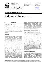 Saiga-Antilope (Saiga tatarica)