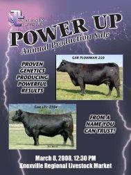 Schott Limousin Ranch Yearling Bulls - LimousinLive