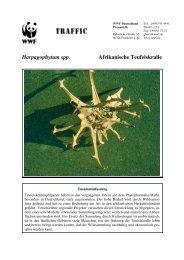 Harpagophytum spp. Afrikanische Teufelskralle