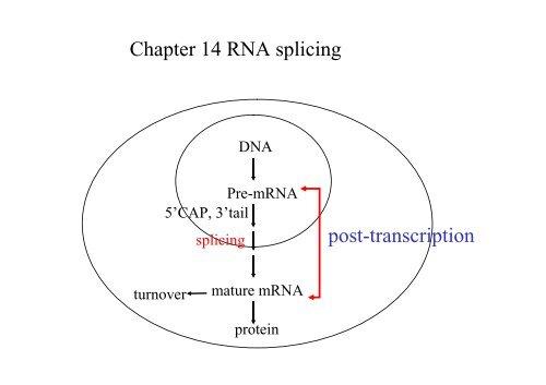 post-transcription Chapter 14 RNA splicing