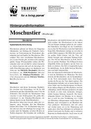 Moschustier (Moschus spp.)