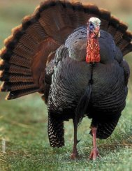 Turkey Tales - New Hampshire Fish and Game Department