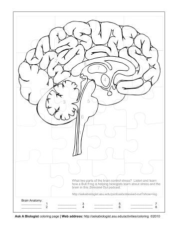 human brain worksheet coloring pages