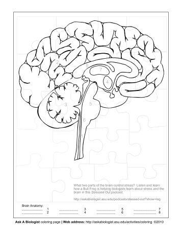 Basic Normal And Pathological Anatomy Of Human Brain Anatomy Of