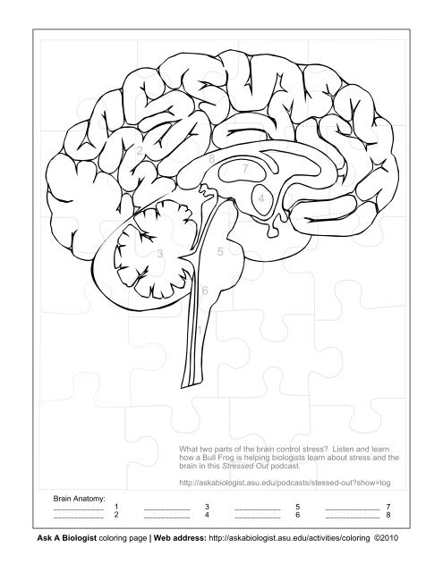 - Ask A Biologist - Human Brain - Coloring Page