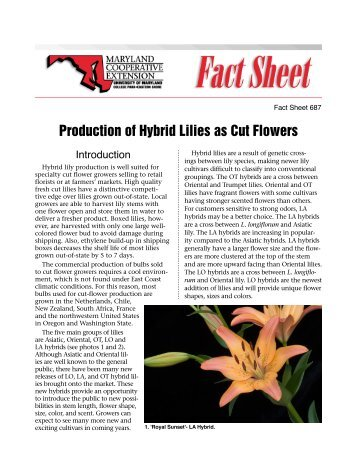 Production of Hybrid Lilies as Cut Flowers