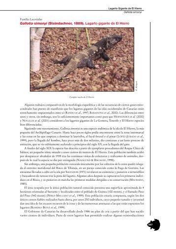 Gallotia simonyi (Steindachner, 1889). Lagarto gigante de El Hierro