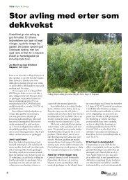 Stor avling med erter som dekkvekst - Fagbladet Økologisk Landbruk
