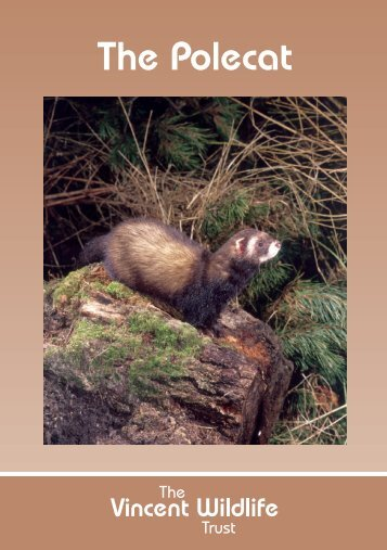 The Polecat - The Vincent Wildlife Trust