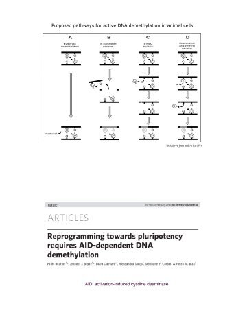 Proposed pathways for active DNA demethylation in animal cells ...
