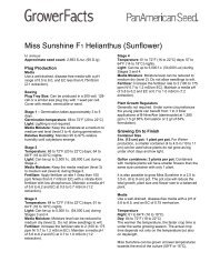 Miss Sunshine F1 Helianthus (Sunflower)