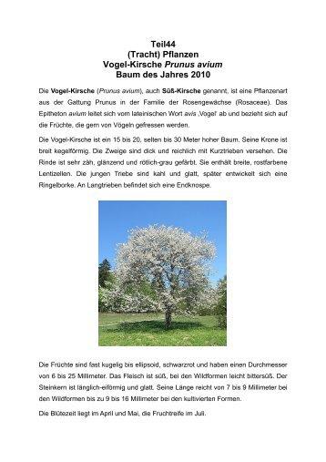 (Tracht) Pflanzen Vogel-Kirsche Prunus avium Baum des Jahres 2010