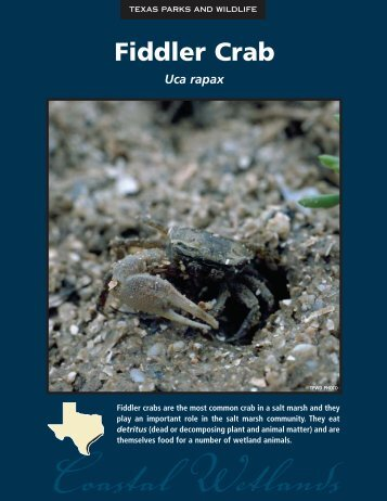 Fiddler Crab - The State of Water