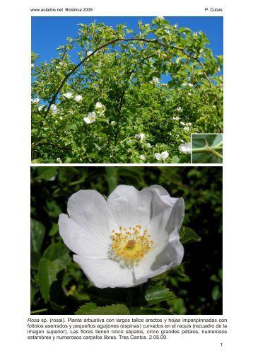 Rosa sp. (rosal). Planta arbustiva con largos tallos erectos y hojas ...