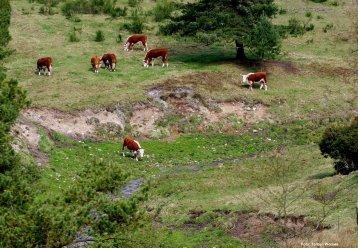 Leverikter hos kødkvæg - LandbrugsInfo