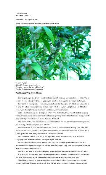 "Iresine palmeri - Christina Mild's ""Rio Delta Wild"""