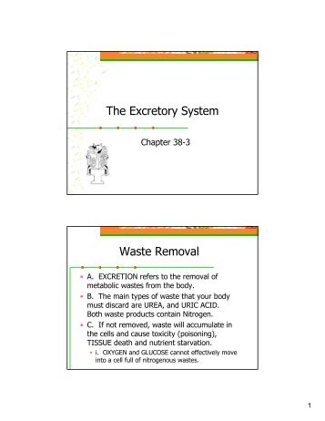 Anatomy Notes 9 The Excretory System - Hart High School