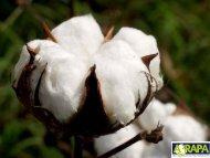 Competitividade do algodão brasileiro - Embrapa Algodão