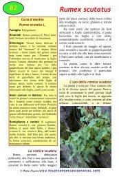 Rumex scutatus - Piante spontanee in cucina
