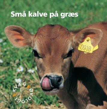 Små kalve på græs - LandbrugsInfo