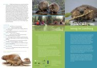 Bevers terug in Limburg - ARK Natuurontwikkeling