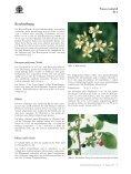 Prunus mahaleb - Seite 3