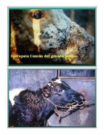Garrapata Común del ganado bovino.