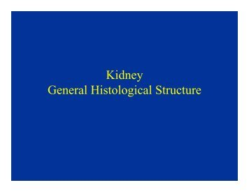 Kidney General Histological Structure